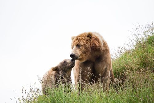 Kodiak_brown_bears_FWS_18394 smaller