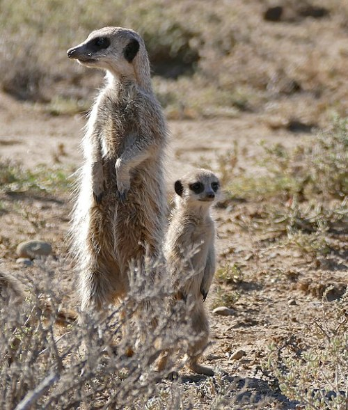 Meerkats_(Suricata_suricatta)_sentinels_looking_out_..._(32413471312)